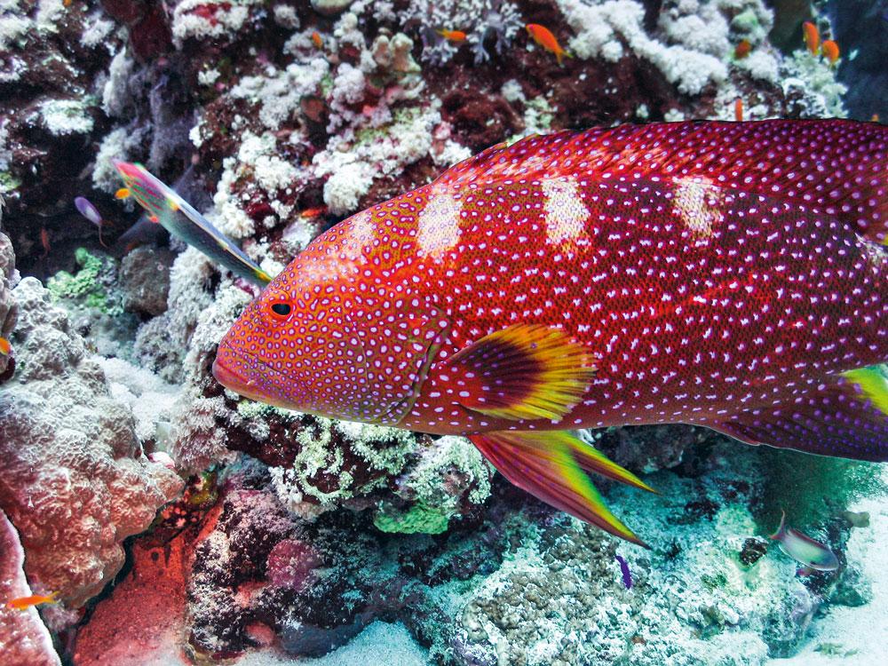 Unterwasserwelt im Roten Meer, Sudan